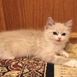Ragdoll Cats and Kittens for sale USA